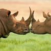 Rhinos Slider Puzzle