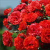 Rose Bush Jigsaw