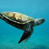 Sea Turtle Slider Puzzle