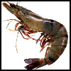 Shrimp