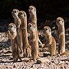 Shy meerkat family slide puzzle