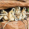 Shy monkeys slide puzzle