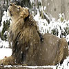 Snow and lion puzzle
