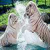 Spoiled tigers slide puzzle