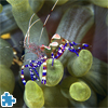 Spotted Cleaner Shrimp Jigsaw