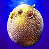 Spotted puffer fish puzzle
