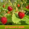 Strawberry glade