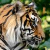 Sumatran Tiger Jigsaw