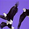 Three crony eagle puzzle