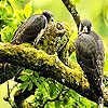 Three falcon in the forest puzzle