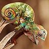 Tiny chameleon puzzle