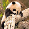 Tiny panda slide puzzle