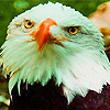 Tired bald eagles puzzle