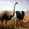 Two big ostrich slide puzzle