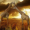 Two great giraffe puzzle