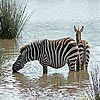 Two zebra slide puzzle
