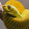 Vipers snakes in desert puzzle