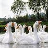 White ducks slide puzzle