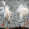 White hairy birds slide puzzle