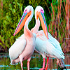 White pelicans in river puzzle