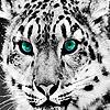 White wild tigers puzzle