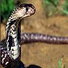 Wild snake slide puzzle