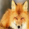 Wild wolf slide puzzle