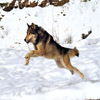 Wolf at a gallop