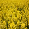Yellow Fields Slider