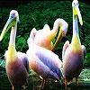 Yellow head pelicans slide puzzle